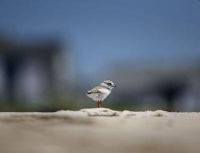 Chicago Beach Music Fest Cancelled Because Of Endangered Birds