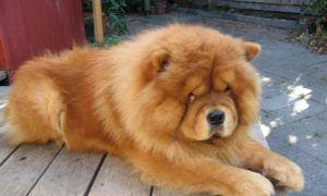 3 Amazing Ways To Honor A Chow Chow Who Passed Away