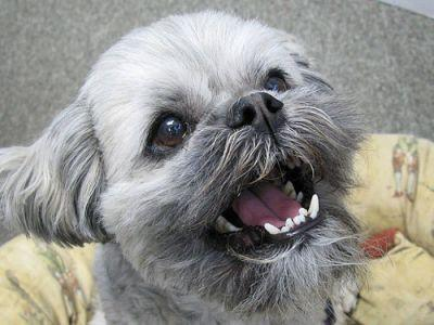 3 Simple Ways To Keep Your Lhasa Apso's Teeth Clean