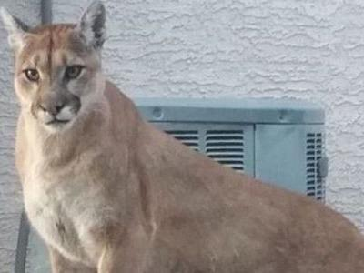 Game officials advising Saddlebrooke homeowners of recent mountain lion sightings