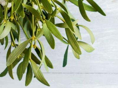 6 Potential Health Benefits of Mistletoe