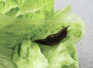 Why I avoided my Salad in Hawaii: Rat Lungworm