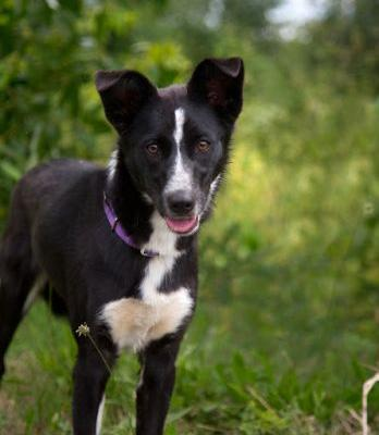 """""""ROSE"""" border collie - needs someone to bond with"""