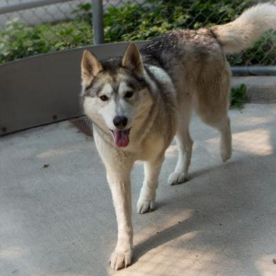 """NYMERIA"" Malamute/Husky mix - WESTSIDE - at Bonnie L Hays Shelter"