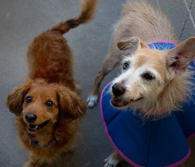 """""""ARBY"""" longhaired Doxie.""""MAXSON"""" terrier - BONDED PAIR"""