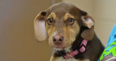 Peanut the rescue dog becomes a hero after saving the life of a 3-year-old girl