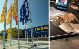 Italian IKEA Store Invites Stray Dogs In From The Cold
