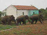 Teenage elephants form 'gangs' to protect themselves from poachers and farmers