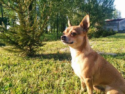 How To Teach Your Chihuahua To Stay