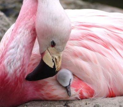 Rare flamingos in England laid eggs for the first time in 15 years - and experts are saying it's because of Europe's heatwave