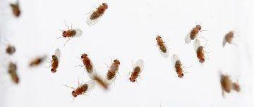 Fruit Flies Rise to the Occasion
