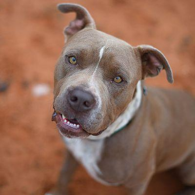 How Chunk the Pit Bull Helped Me Overcome a Breed Prejudice I Didn't Even Know I Had