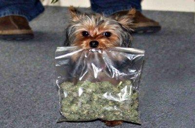 Pet Insurer Says Washington Has Highest Number of Marijuana Toxicity Claims