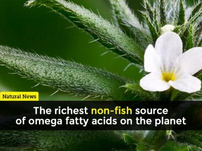 Ahiflower: The richest non-fish source of omega fatty acids on the planet
