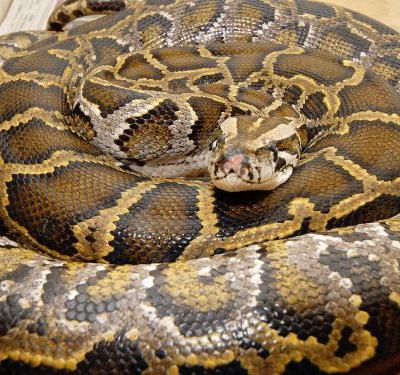 Indonesian woman killed, swallowed whole by 23-foot-long python