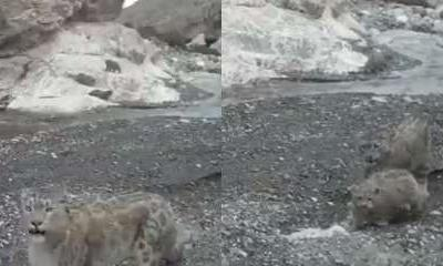 Watch: Video of snow leopard raising its cubs in trans Himalayas goes viral