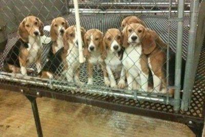 How the USDA Records Removal Impacts the Beagle Freedom Project's Important Work