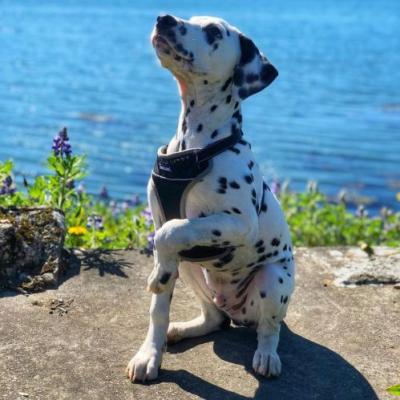 Dalmatian Breed Information Guide: Quirks, Pictures, Personality & Facts