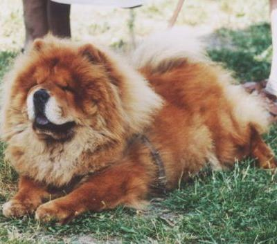 Breed Spotlight: The Chow Chow | Winslow Animal Hospital Dog & Cat