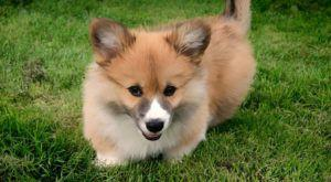 Improve Your Corgi's Skin & Coat With This One Simple Hack