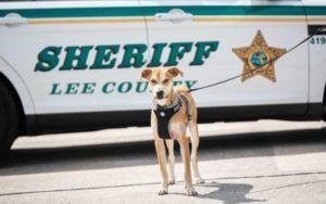 Formerly Abused Dog Gets A New Home & A Job With Florida Sheriff's Office