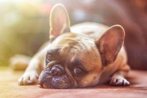 Giving This To Your French Bulldog Daily Could Help Alleviate Painful Skin Allergies