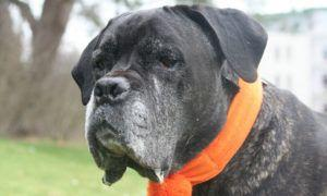 3 Amazing Ways To Honor A Cane Corso Who Passed Away