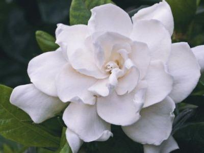 Top 6 Benefits of Gardenia Flowers & Gardenia Essential Oil