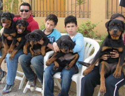 How to Give Your Rottweiler Puppies the Proper Care