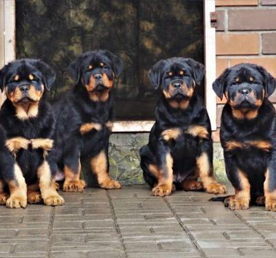 Rottweiler Puppy - How To Choose Professionally