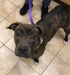 """IRENE"" young brindle pitbull - needs a confidence boosdt"