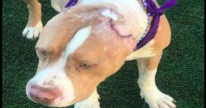 PLEASE WATCH: Abused Pit Bull Finds Forever Home With an American Hero