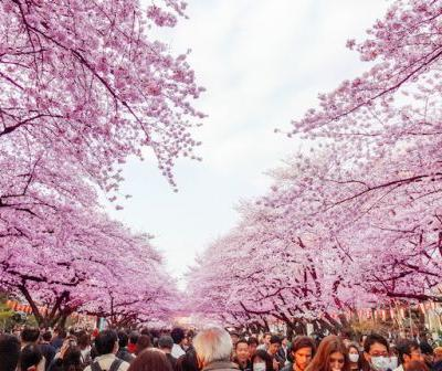 Japanese Cherry Blossom Season: 10 of the Best Places to Visit