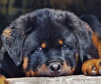 What is the strength of the rottweiler bite force?