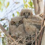 The Owls of Bentsen-Rio Grande Valley State Park, Texas