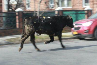 Runaway cow leads police on wild chase in NYC suburb of Jamaica, Queens