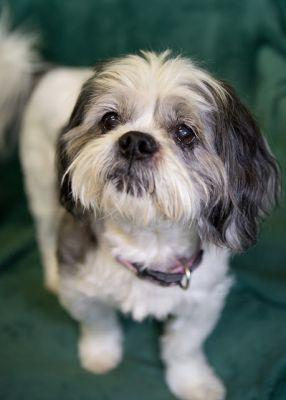 """""""SNICKERS"""" friendly little Lhasa mix"""