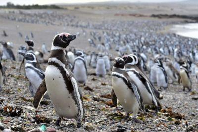 Abundant fish draw 1 million penguins to Argentine peninsula