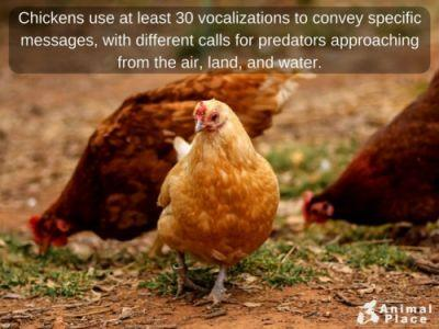 Some flocks of chickens have even named their caregivers!