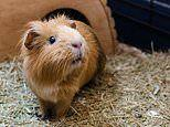 Stroking GUINEA PIGS helps people recover from catastrophic brain injuries