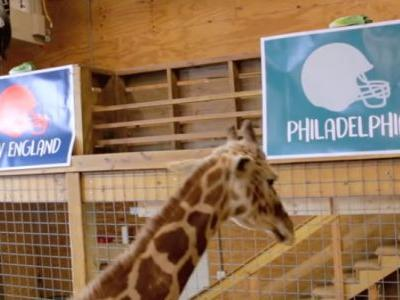 April the Giraffe makes her pick for Super Bowl LII