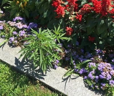 Cannabis plants found in Vermont Statehouse flower beds