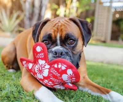 What to Know About the Boxer Dog Breed