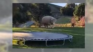Your daily 6: Player protests kick off NFL pre-season, Avenatti for president and sheep loves to bah-bah-bounce on trampoline