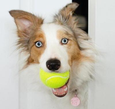Border Collie Breed Information Guide: Quirks, Pictures, Personality & Facts