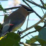 Birds that Costa Rican Birders Want to See the Most