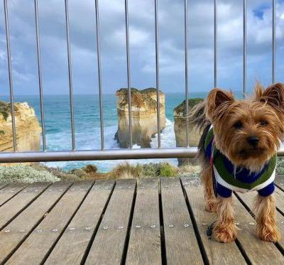 Silky Terrier Breed Information Guide: Quirks, Pictures, Personality & Facts