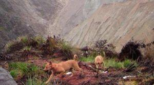 Ancient Dog Thought To Be Extinct Is Rediscovered In The Wild