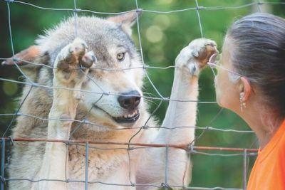 Wolfdogs Find Sanctuary at Full Moon Farm