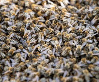 Semitruck carrying bees crashes in Montana, releasing swarm: 'Truly flying everywhere'